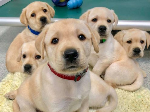 Puppies are born ready to communicate with people, research suggests (Canine Companions for Independence/PA)