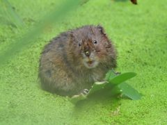 Water voles are being released into a site in Yorkshire to help boost the endangered mammal (Ian West/PA)