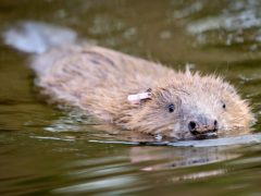 Trees For Life want the culling of beavers to be a last resort (Ben Birchall/PA)