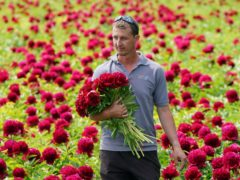Production manager Jaun De Beer carries freshly cut peonies at the family-run Bury Lane Farm in Royston, Hertfordshire (Joe Giddens/PA)