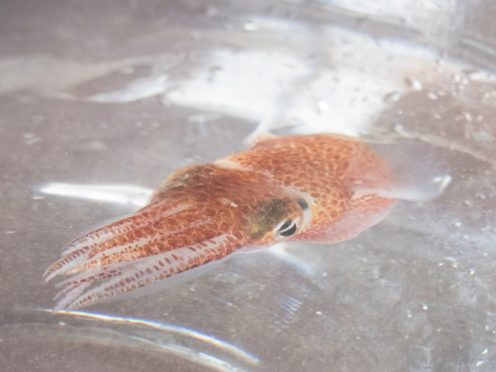 A squid is shown at a lab in Honolulu. Dozens of baby squid from Hawaii are in space for a study (Craig T Kojima, Honolulu Star-Advertiser/AP)