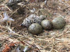 A herring gull chick and eggs (Jon Blount/University of Exeter)