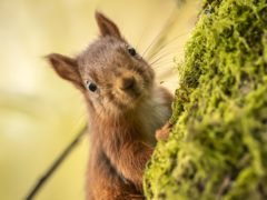 A red squirrel (Danny Lawson/PA)