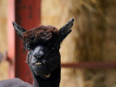 Geronimo the alpaca is to be culled after his owner lost her legal battle (Jacob King/PA)