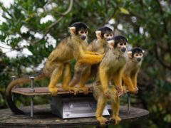 Squirrel monkeys during the annual weigh-in at ZSL London Zoo (Yui Mok/PA)