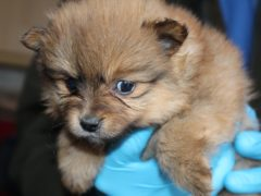 The new rules aim to tackle puppy smuggling (RSPCA/PA)