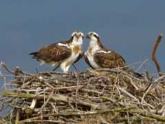 Osprey in the Dyfi Estuary (credit Andy Rouse 2020 Vision)