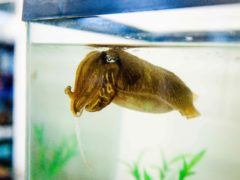 Ageing cuttlefish can remember the details of last week's dinner, a study found (Alex Schnell/University of Cambridge/PA)
