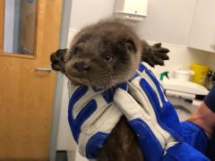 Young otter cub found alone and crying for his mum now doing well in RSPCA care (RSPCA)