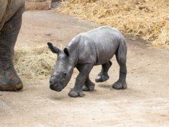 Nandi the baby rhino (ZSL)