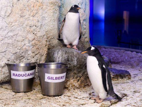 The gentoo penguin chicks (Sea Life London Aquarium/PA)