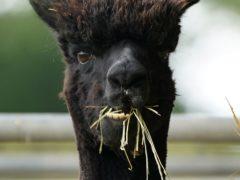 Geronimo the alpaca (Andrew Matthews/PA)