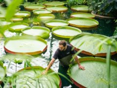 Horticulturalist Alberto Trinco stands next to Kew Garden's giant water lilies (PA)