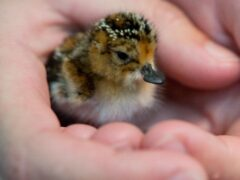 Spoon-billed sandpiper chick, one of the rarest birds in the world (WWT/PA)
