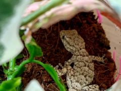 The baby gecko travelled more than 2,500 miles from Crete to Greater Manchester (RSPCA)