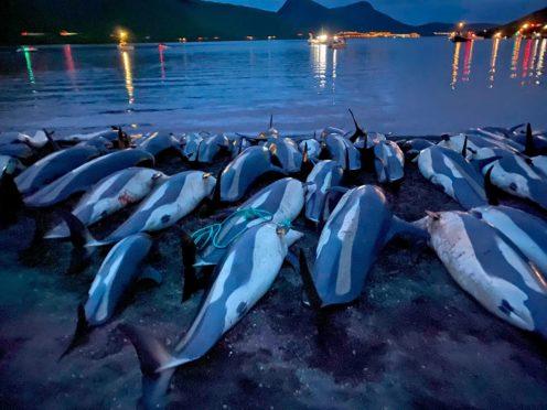 The carcasses of dead white-sided dolphins lay on a beach on the island of Eysturoy (Sea Shepherd via AP)