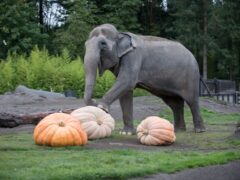 Elephants pulverize giant pumpkins at the Oregon Zoo's annual Squishing of the Squash. (Oregon Zoo/photo by Shervin Hess)