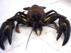 Crayfish and carp 'among invasive species pushing lakes to ecosystem collapse' (Environment Agency)