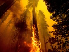 Flames burn up a giant tree as part of the Windy Fire in the Trail of 100 Giants grove in Sequoia National Forest (AP)