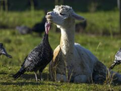 Turkeys are guarded from foxes by alpacas at Copas Traditional Turkeys farm in Cookham, near Maidenhead (Steve Parsons/PA)