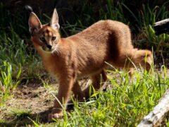 A caracal was on the loose in Detroit (AP)