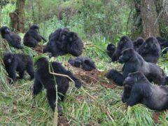 (Dian Fossey Gorilla Fund/PA)