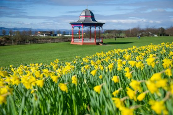 Flowering daffodils on Magdalen Green, Dundee.