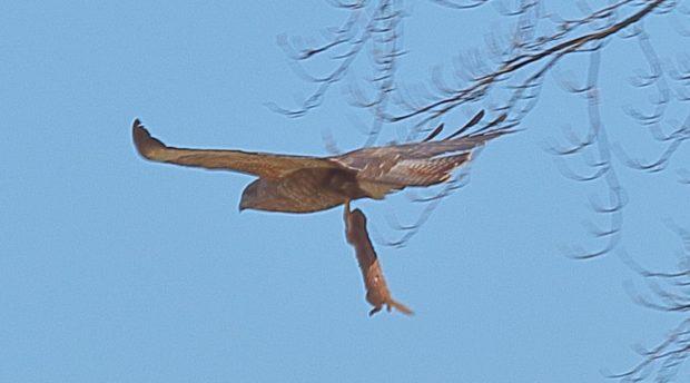 buzzard eats weasel