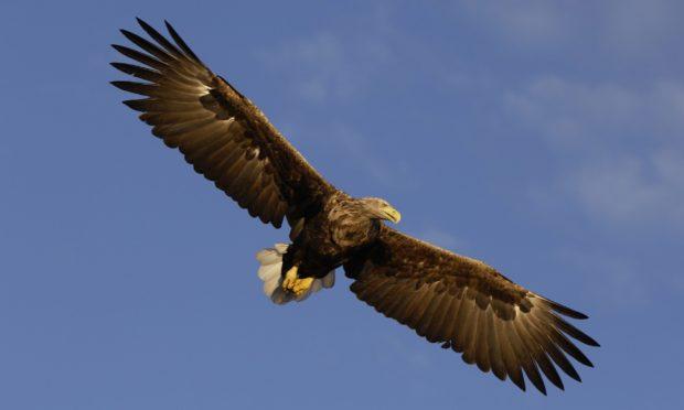 White-tailed sea eagles Mull