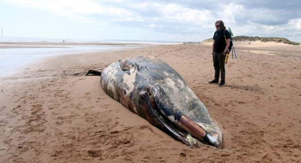 A juvenile fin whale that was found washed ashore at Balmedie Beach.