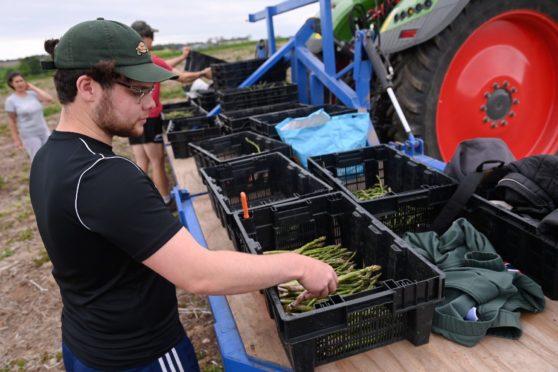 A farm worker handling a box of asparagus spears