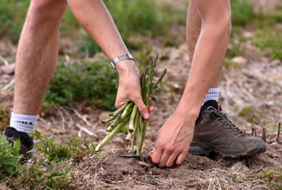 A close up of asparagus being picked from the ground