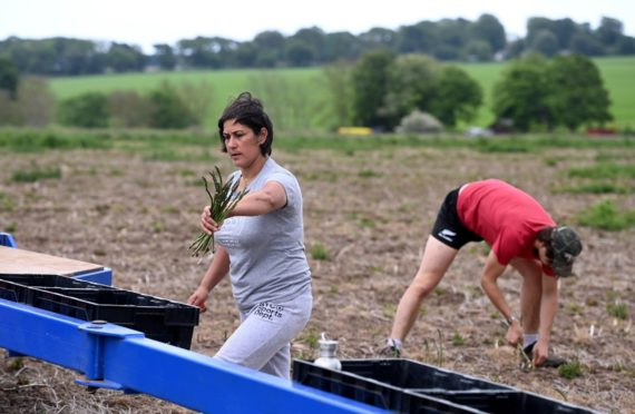 A woman about to place asparagus spears into a box and a man bending down to pull them out of the ground