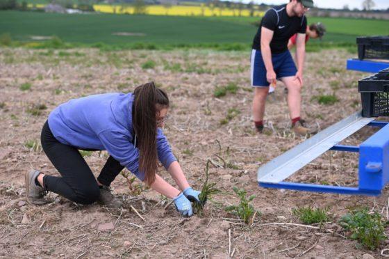 Farm workers bending down to harvest Lunan Bay Farm asparagus