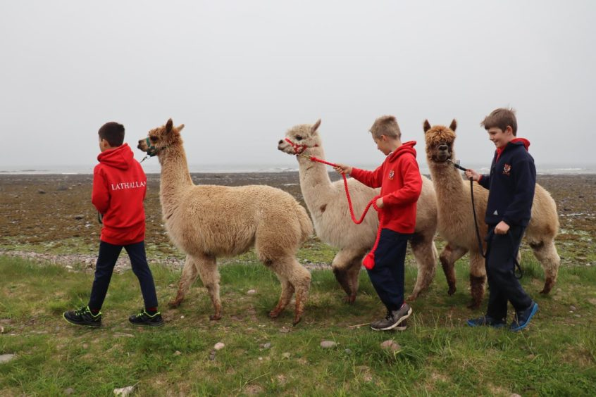Pupils with the alpacas on the beach