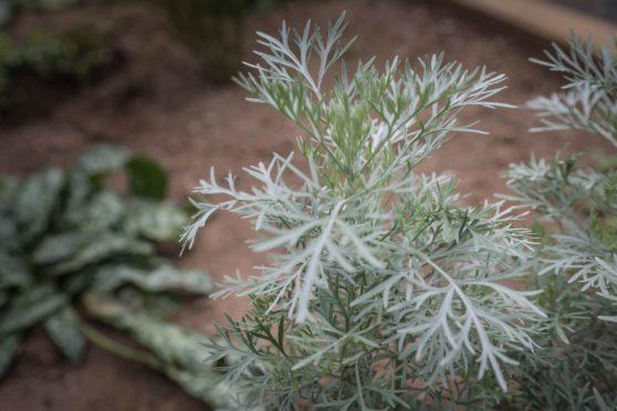 Medicinal garden dundee