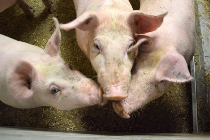 There is growing concern over the backlog of pigs waiting to be processed.