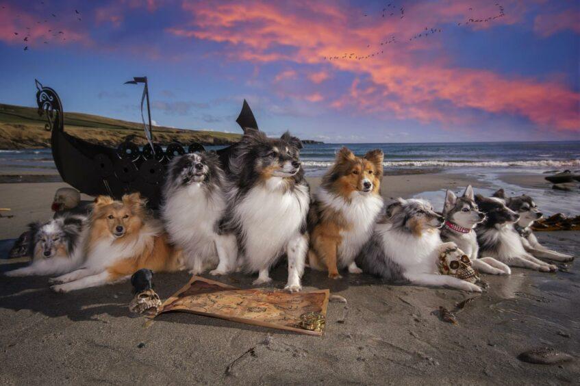 Kaylee has eight dogs - six Shetland sheepdogs and two Alaskan Klee kai.