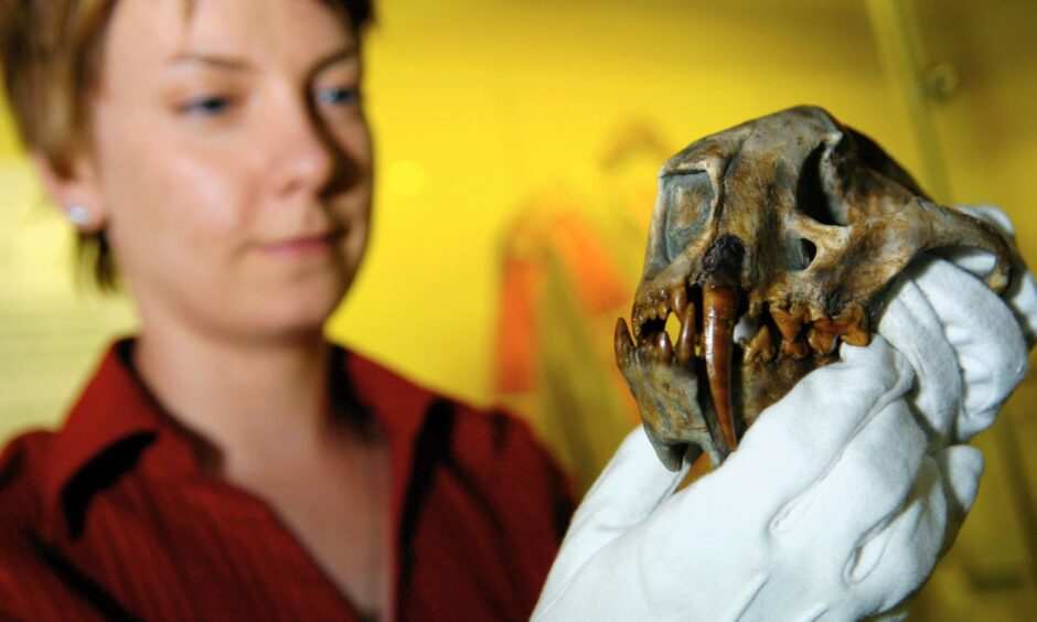 Curator, Claire Smith, showing off a 30 million year-old sabre tooth cat skull at Marischal Museum in 2005.