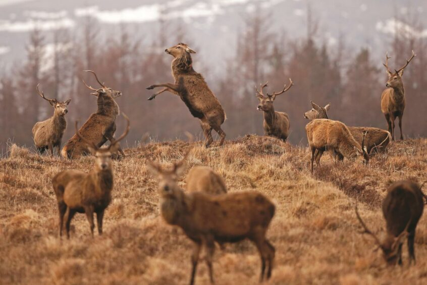 """These stags are """"boxing"""" in early spring in the Highlands."""