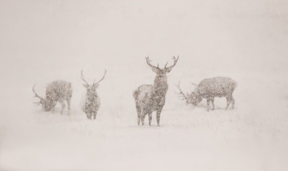 Red deer are rugged creatures even in a blizzard.