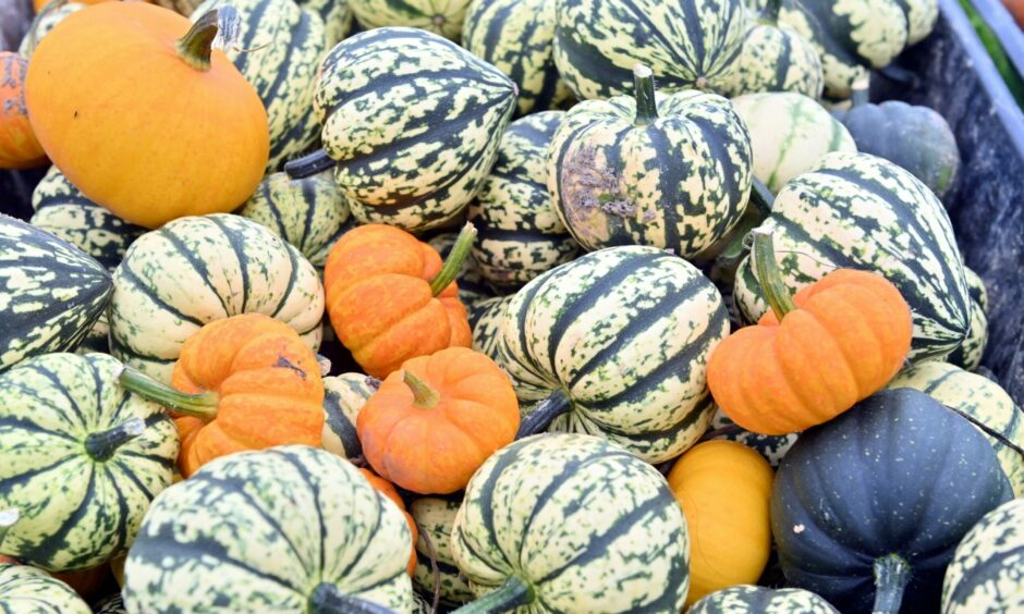 Some of the pumpkins visitors can pick on the Udny patch.