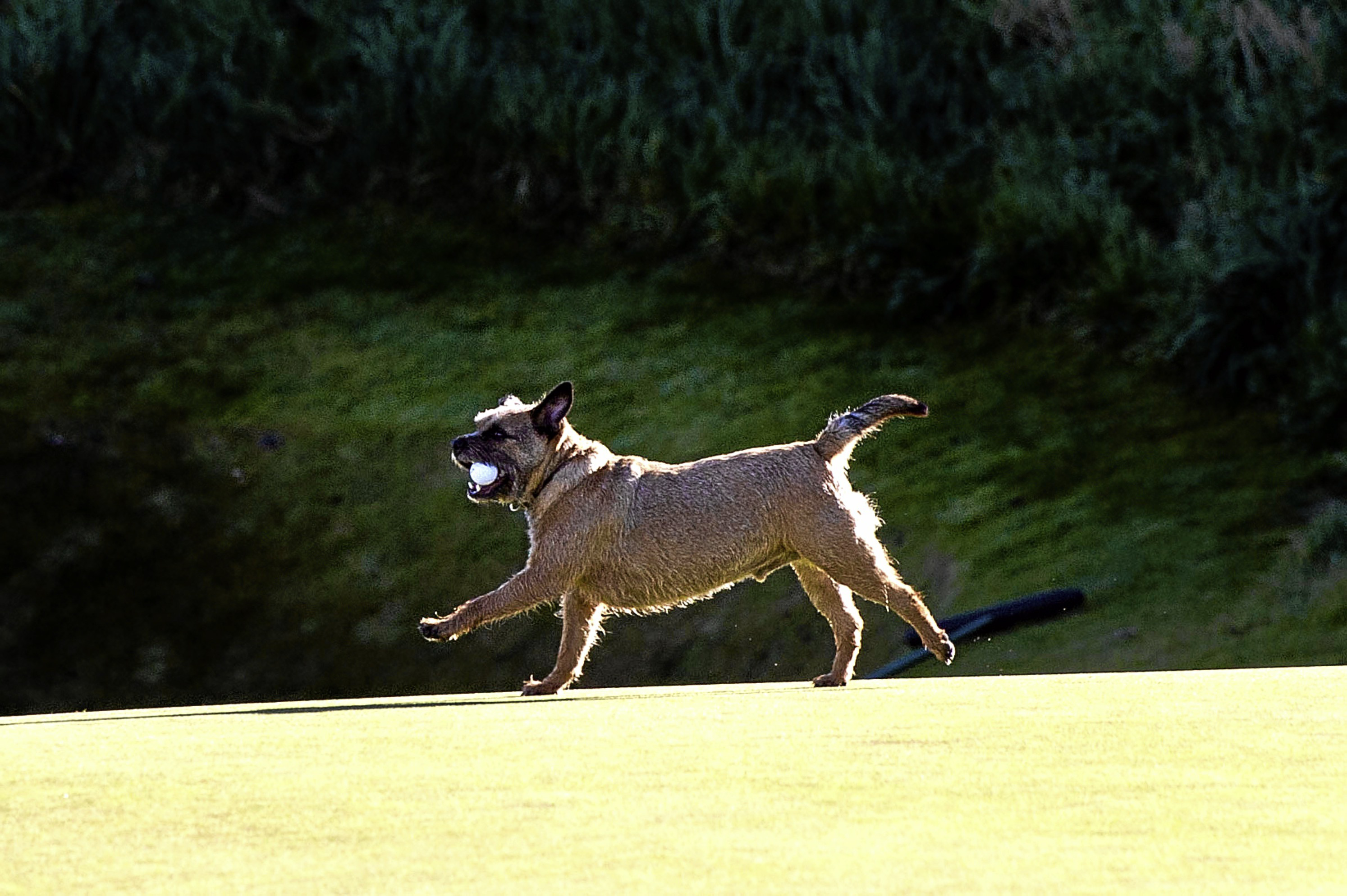 Golfer's won't be able to take their pets on the course under new rules.
