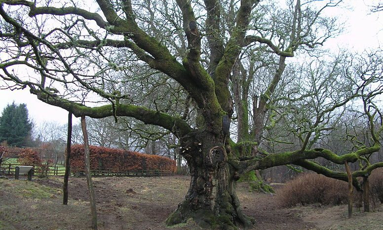 The world famous Birnam Oak.