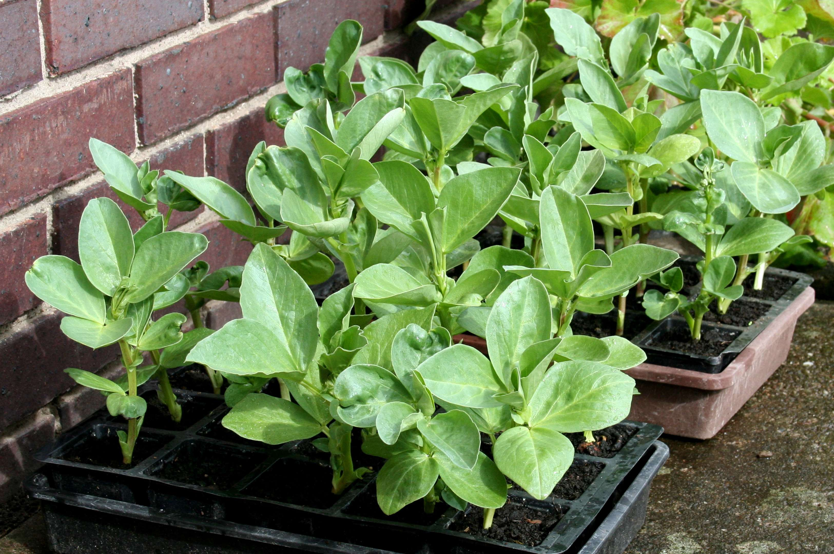 Broad beans ready for planting.