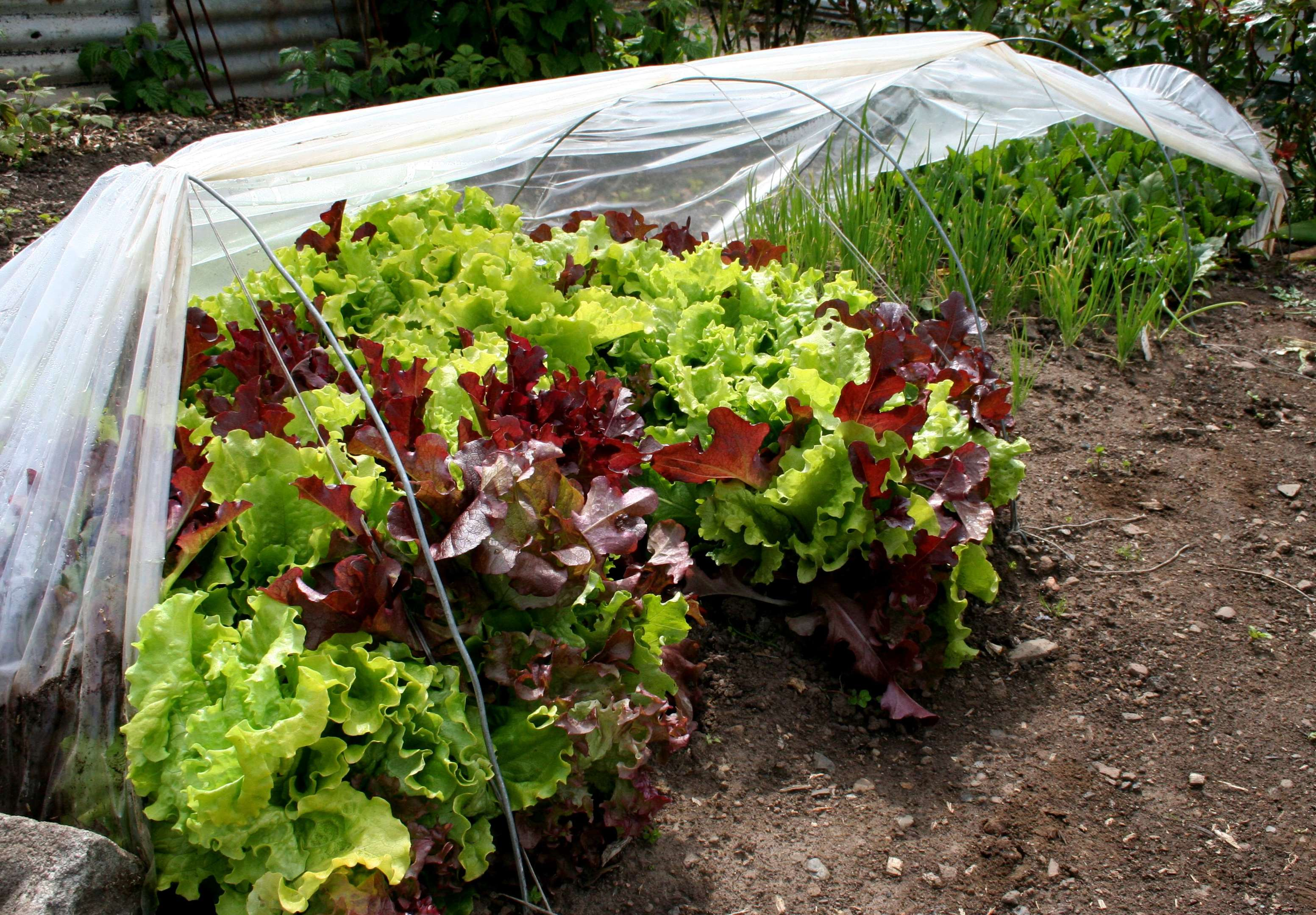 Early salads growing under tunnels.
