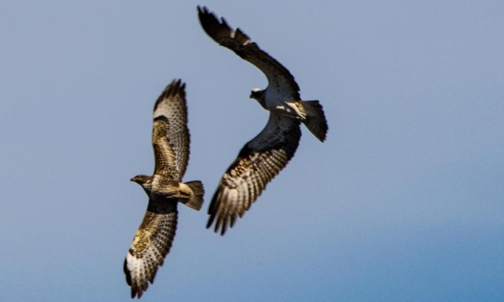 A female osprey chasing off a buzzard