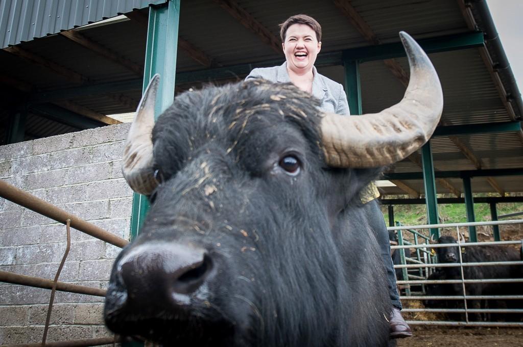 Buffalo, mounted.
