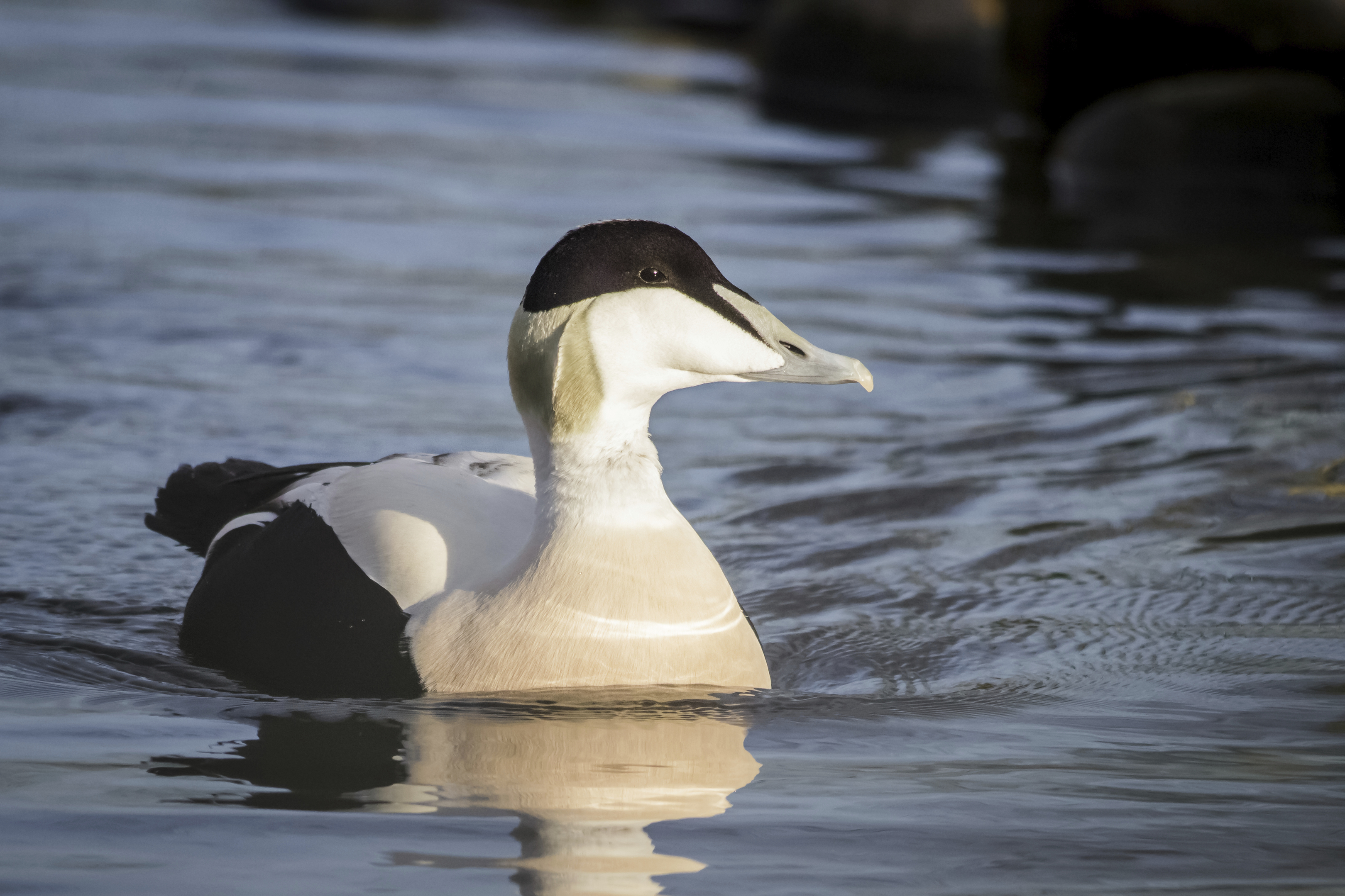 Eider ducks are active at this time of year.