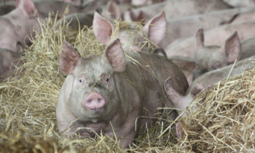 The pig industry is investigating antibiotic usage.